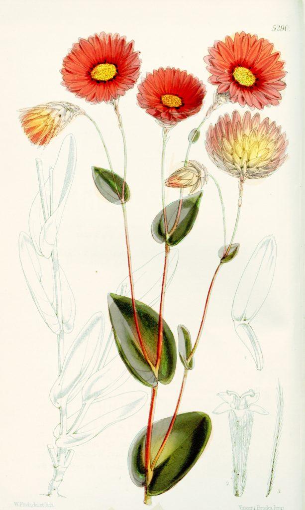 Free Vintage Botanical Print